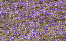 Crocuses on the meadow Stock Images