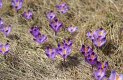 Crocuses on the meadow Stock Image