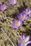 Crocuses on the meadow Royalty Free Stock Image