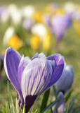 Crocuses on meadow Stock Photo