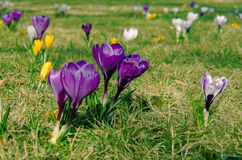 Crocuses on meadow Royalty Free Stock Photography
