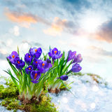 Crocuses in melting snow Stock Photography