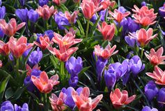 Purple and pink crocuses stock photography