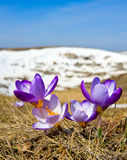 Crocuses in mountains Stock Images