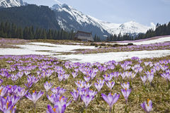 Crocuses in mountains. Colourful flowers crocuses on the background of Tatra mountains landscape Royalty Free Stock Images