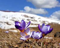 Crocuses in mountains Stock Photography