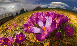 Crocuses in the mountains Royalty Free Stock Photos