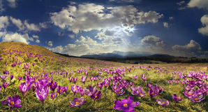 Crocuses in the mountains Royalty Free Stock Images