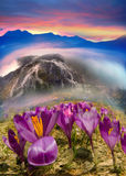 Crocuses in the mountains Royalty Free Stock Photography