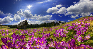 Crocuses in the mountains Royalty Free Stock Image