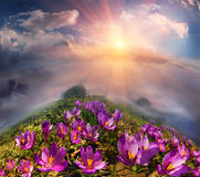 Crocuses in the mountains Stock Photos