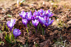 Crocuses in the mountains Stock Photo