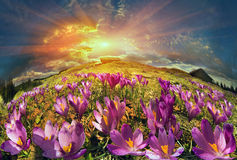 Crocuses in the mountains stock image
