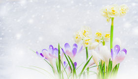 Crocuses and Narcissus flowers bed on light background with  snow drawn, side view. Spring flowers: purple crocuses and yellow Narcissus on light background with Stock Photos