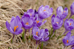Crocuses in nature Stock Images