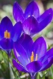 Crocuses opening their flowers at early spring Royalty Free Stock Image