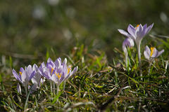 Crocuses in the park Stock Images