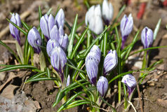 The crocuses Royalty Free Stock Photography