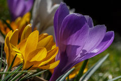 Crocuses. Pink and yellow crocus flowers from garden Royalty Free Stock Photography