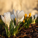 White crocuses. White crocus flowers from garden Royalty Free Stock Photos