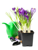 Crocuses in a pot with garden tools Royalty Free Stock Photography