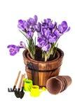 Crocuses in pot and garden tools. Stock Photo
