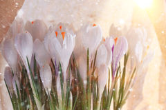 Crocuses in a pot. Live crocuses in a pot Royalty Free Stock Photography