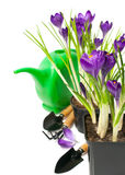 Crocuses in pots and gardening tools Royalty Free Stock Images