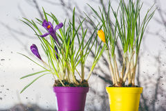Crocuses in pots near the window. On a rainy day stock image