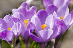 Crocuses purple Royalty Free Stock Photos