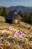 Crocuses-purple flowers and old abandoned wooden hut with mountains in the background, early spring in nature stock photos
