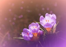 Crocuses. Purple crocuses in the garden Royalty Free Stock Photo