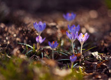 Crocuses Stock Photography
