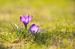 Crocuses Royalty Free Stock Image