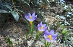 Crocuses purple with a yellow center royalty free stock photography