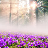 Crocuses in the rays Royalty Free Stock Photos