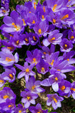 Crocuses in Rila mountains Stock Images