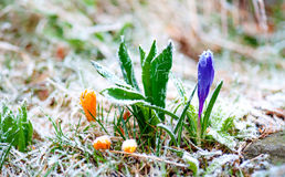 Crocuses with rime frost Stock Image
