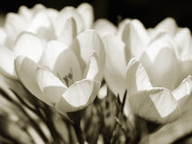Crocuses in Sepia Royalty Free Stock Image