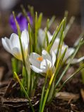 Crocuses 4. Side view of the first signs of spring--white crocuses Royalty Free Stock Images
