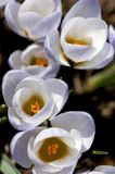 Crocuses - Sign of Spring Royalty Free Stock Image