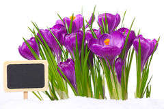 Crocuses with slate board Stock Image