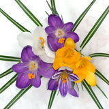Crocuses In The Snow Royalty Free Stock Photography