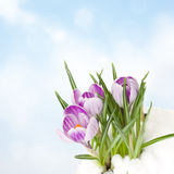 Crocuses in snow Royalty Free Stock Photography