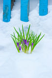 Crocuses in snow. The Image of lilac crocuses in snow Royalty Free Stock Photo