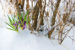 Crocuses in snow. The Image of lilac crocuses in snow Royalty Free Stock Photography