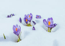 Crocuses in snow Stock Photos