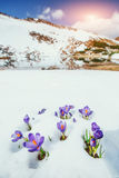 Crocuses in snow Royalty Free Stock Image