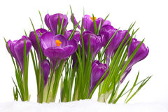 Crocuses in snow Royalty Free Stock Images