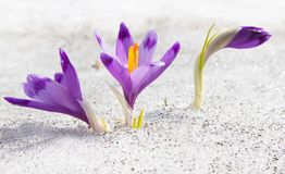 Crocuses and snow Royalty Free Stock Photos